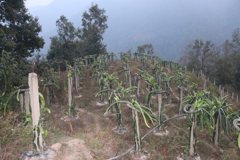 बसाइँ सरेको २२ वर्षपछि गाउँ फर्केर ड्रागन खेती